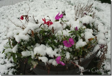 Annuals blooming in snow-covered container (photo credit: Jean Potuchek)
