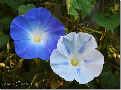 Morning glories blooming happily in Gettysburg in October (photo credit: Jean Potuchek)