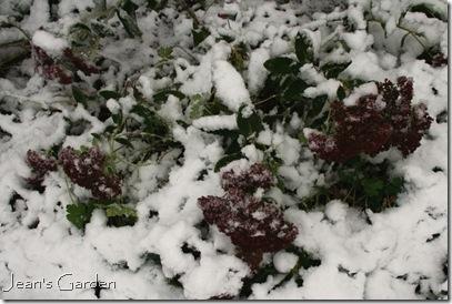 Sedum blooming in snow (photo credit: Jean Potuchek)
