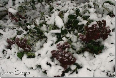 Sedum blooming in snow (photo credit: Jean Potuchek)