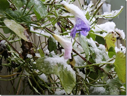Morning Glory flowers in snow (photo credit: Jean Potuchek)
