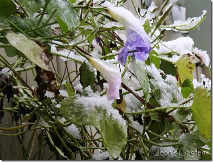 Morning Glory flowers in snow (photo credit: Jean Potuchek)