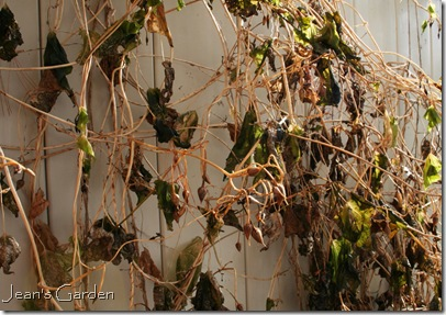 Frost-blackened morning glory vines (photo credit: Jean Potuchek)