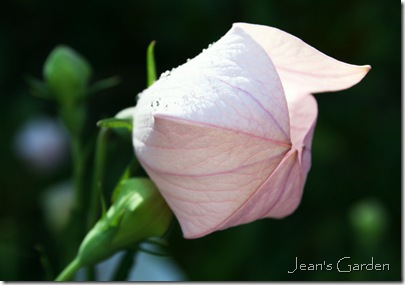 Pink platycodon opening (photo credit: Jean Potuchek)