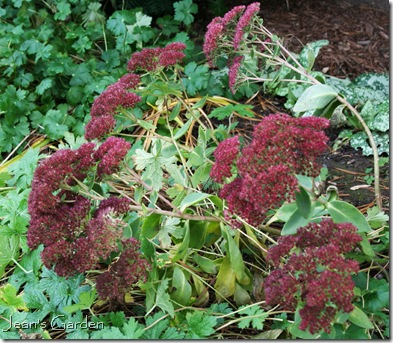 Sedum 'Neon' in November (photo credit: Jean Potuchek)