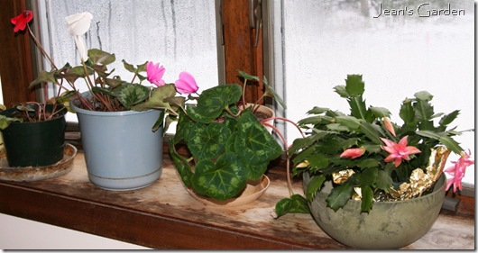 Christmas blooms on the window ledge (photo credit: Jean Potuchek)
