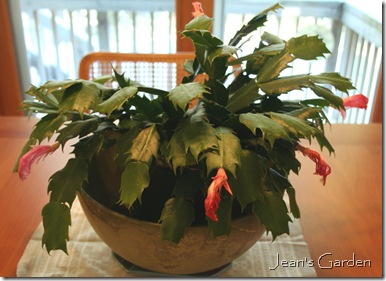 Fading flowers on Christmas cactus (photo credit: Jean Potuchek)