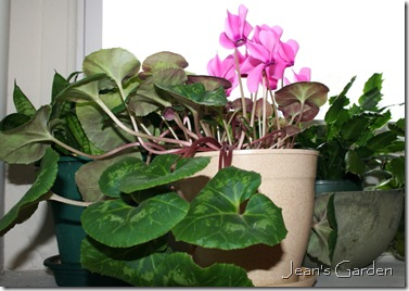 Cyclamen blooming on bedroom window ledge (photo credit: Jean Potuchek)