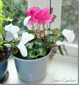 Mix of pink and white cyclamen blooming on window ledge in living room (photo credit: Jean Potuchek)