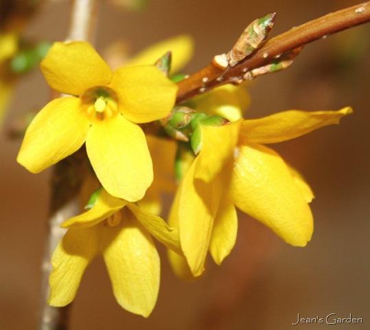 five views of forsythia  jean's garden, Beautiful flower