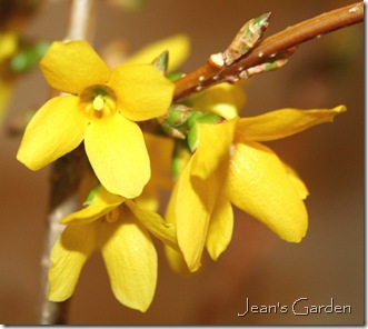 Detail - Forsythia flower (photo credit: Jean Potuchek)