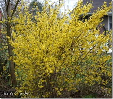Forsythia blooming in April in Gettysburg, PA (photo credit: Jean Potuchek)