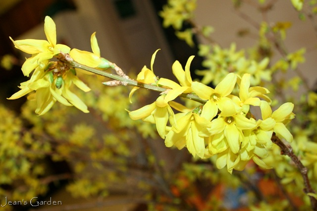 five views of forsythia  jean's garden, Beautiful flower
