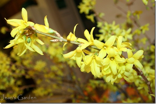 Forsythia inflorescence (photo credit: Jean Potuchek)