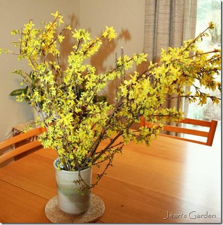 Vase of forced forsythia (photo credit: Jean Potuchek)