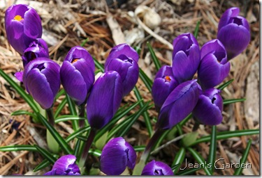 Crocuses blooming in my Gettysburg garden (photo credit: Jean Potuchek)