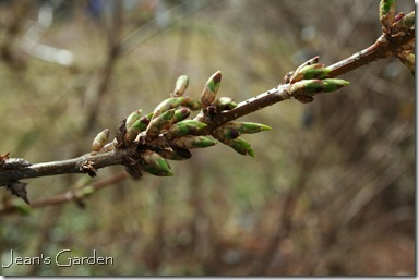 Forsythia buds about to bloom (photo credit: Jean Potuchek)