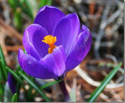 First flower of spring - Crocus (photo credit: Jean Potuchek)