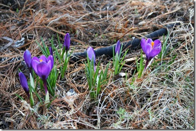 The first crocuses opening in my Gettysburg garden signal time for spring clean-up (photo credit: Jean Potuchek)