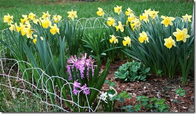 Daffodils and hyacinths blooming in Gettysburg, Pennsylvania - March 2012 (photo credit: Jean Potuchek)