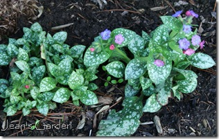 Pulmoniaria beginning to bloom in my Gettysburg garden (photo credit: Jean Potuchek)