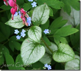 Brunnera 'Frosted Glass' with bleeding hearts (photo credit: Jean Potuchek)
