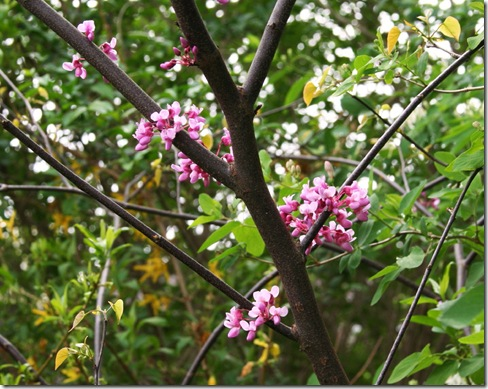 Flowers on Eastern redbud - Cercis canadensis (photo credit: Jean Potuchek)