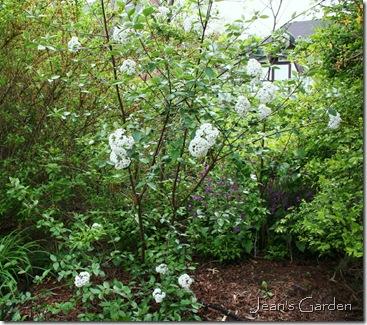 Viburnum x burkwoodii (photo credit: Jean Potuchek)