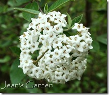Bloom of Viburnum x burkwoodii (photo credit: Jean Potuchek)