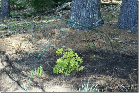 Some temporary protection from deer damage for vulnerable hostas in the Serenity Garden (photo credit: Jean Potuchek)