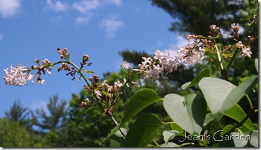 Fading lilac blooms (photo credit: Jean Potuchek)