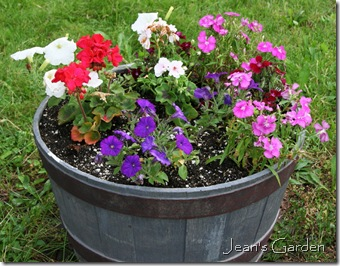 Half-barrel of annuals in my Gettysburg garden (photo credit: Jean Potuchek)