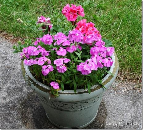 A pink season on the patio (photo credit Jean Potuchek)