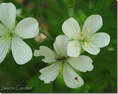Geranium maculatum album (photo credit: Jean Potuchek)