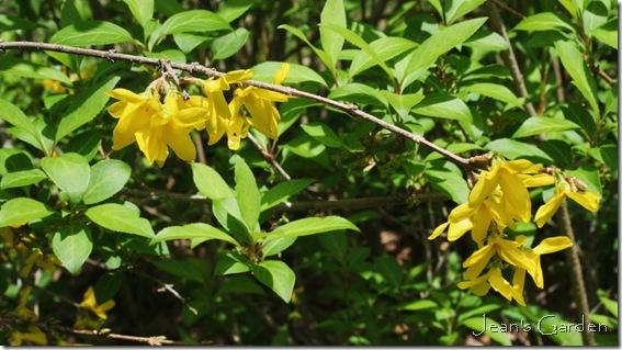 Late forsythia blooms (photo credit: Jean Potuchek)