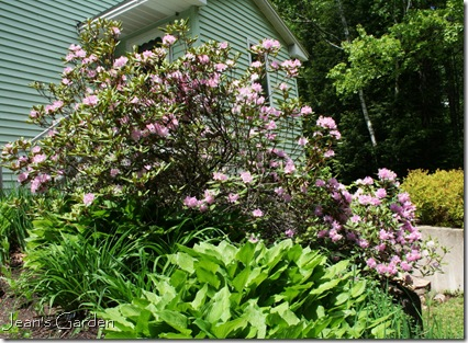 Pink rhododendron blooming on back slope (photo credit: Jean Potuchek)