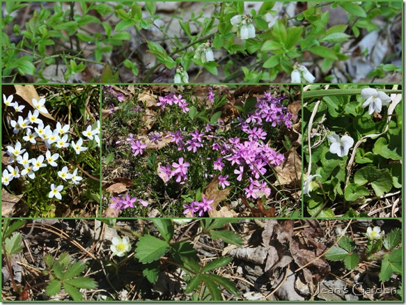 Spring blooms in my Maine garden (photo credit: Jean Potuchek)