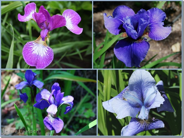 Siberian irises in the June garden - clockwise from top left: Carrie Lee, Tiffany Lass, Superego, self-sown species flowers (photo credit: Jean Potuchek)
