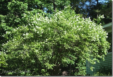 Mock orange in bloom (photo credit: Jean Potuchek)