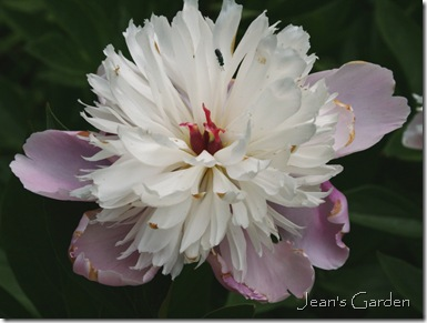 Peony bloom blown in the heat (photo credit: Jean Potuchek)