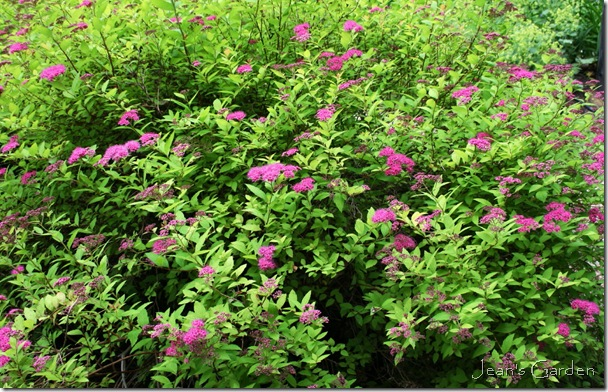 New blooms on Spirea 'Magic Carpet' (photo credit: Jean Potuchek)