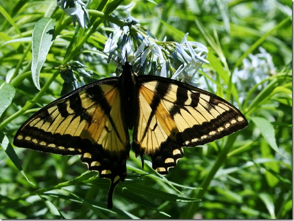 Tiger swallowtail on amsonia (photo credit: Jean Potuchek)