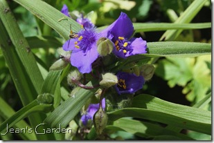 Blue tradescantia (photo credit: Jean Potuchek)
