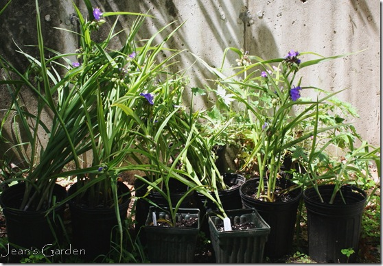 Potted tradescantia for sharing (photo credit: Jean Potuchek)