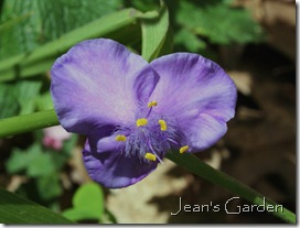 Violet tradescantia (photo credit: Jean Potuchek)