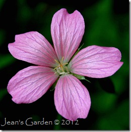 Geranium x oxonianum 'AT Johnson' (photo credit: Jean Potuchek)
