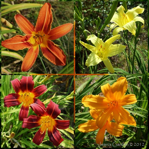 front daylilies