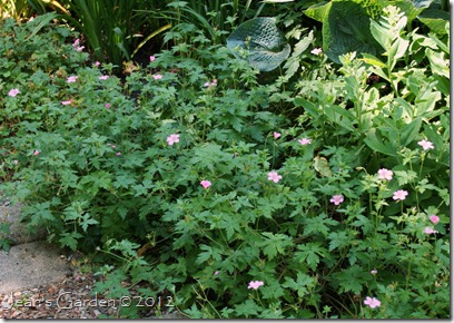 Geranium x oxonianum at the front of the Deck Border (photo credit: Jean Potuchek)
