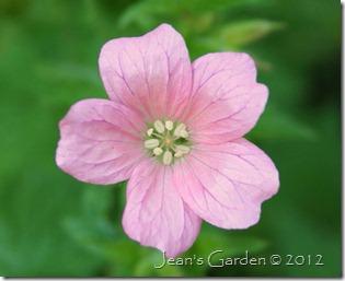 Geranium x oxonianum 'Wargrave Pink' (photo credit: Jean Potuchek)