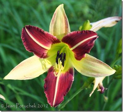 red&yellow daylily